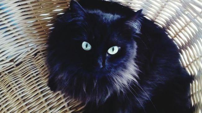 PhonePhotography Taking Photos Hello World Cat My Cat Black Cat Piercing Eyes Eyem Cat Showcase June