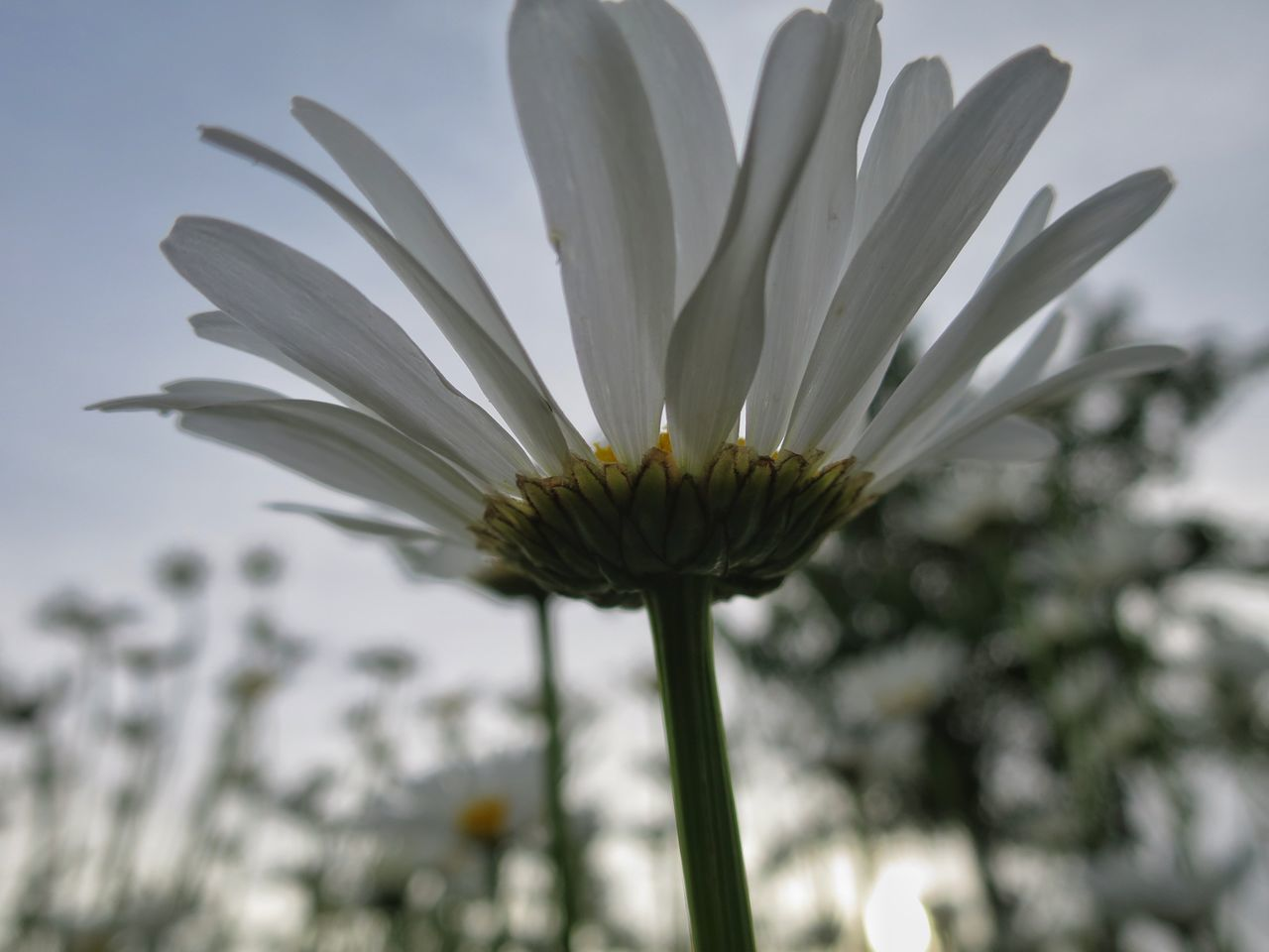 In My Garden Flower Bed Daisy Close Up Limited Depth Of Field Nature Beauty Sky