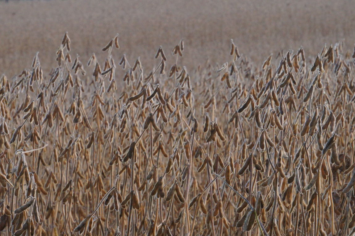Close-up Beauty In Nature Outdoors Landscape Bright_and_bold Agriculture Soybean Field Mature Crop Soybean Pods