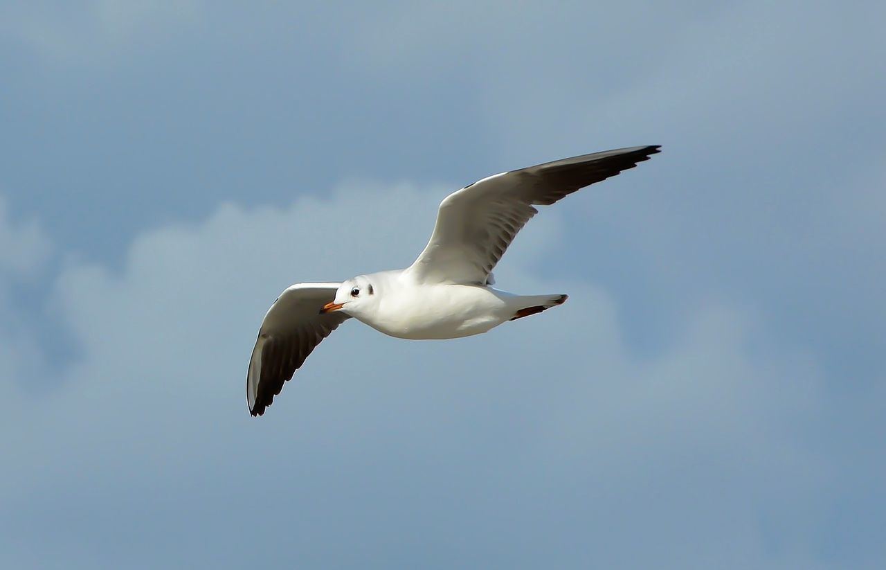 Animal Themes Animal Wildlife Animals In The Wild Bird Day Flying Low Angle View Nature No People One Animal Outdoors Seagull Sky Spread Wings