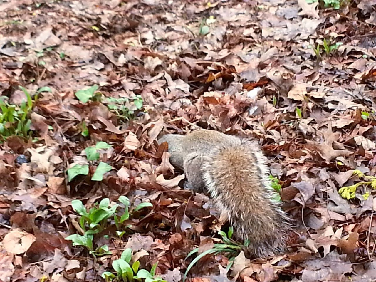 leaf, nature, one animal, field, animals in the wild, animal themes, day, outdoors, no people, autumn, mammal, hedgehog, close-up