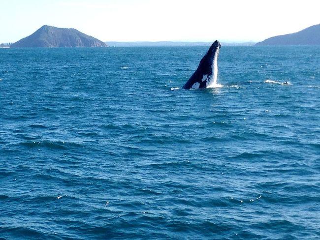 Humpback whale breaching Nelson Bay Whale Whale Watching Ocean Nature Enjoying Life