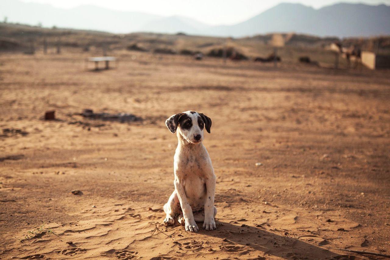 Dog Desert Deserts Around The World Puppy India Rajasthan