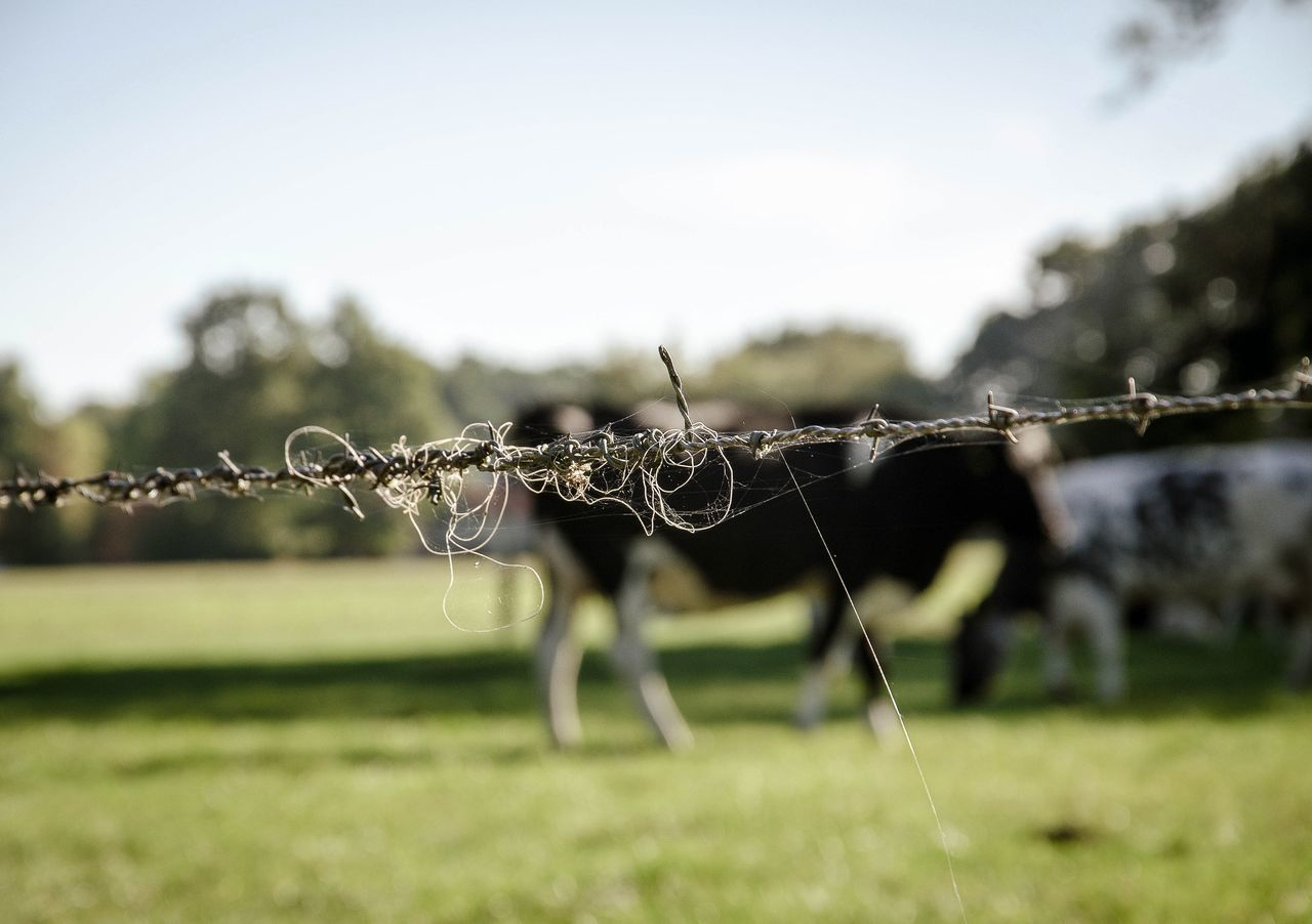 Barbed wire Grass Animal Themes Nature Day Close-up Outdoors Sky Beauty In Nature Cows Grazing Cow Cows In A Field Landscape Landscapelovers