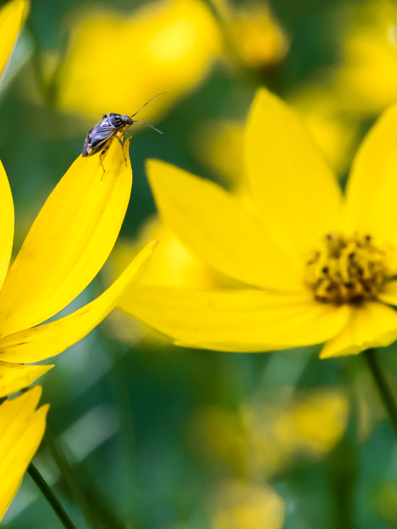 Background, Beauty In Nature, Beetle, Bloom, Blooming, Blossom, Botanical, Botany, Bright, Bug, Close, Closeup, Close-up, Color, Color Image, Colorful, Coreopsis, Day, Dive, Flora, Floral, Flower, Fresh, Garden, Green, Green Color, Growth, Height, Insect, Beauty In Nature Blooming Close-up Coreopsis (Perennial) Flower Flower Head Insect Nature No People Outdoors Petal Plant Pollination Yellow