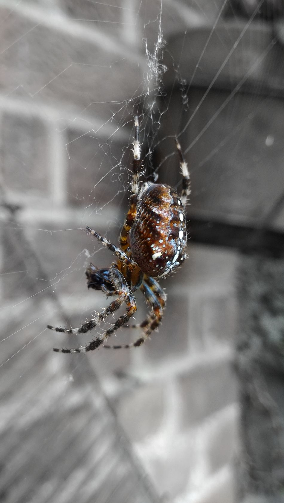 Araneus diadematus - Naturelovers Nature Animal Wildlife Tactical Troll Cute Animals Cuteness Cute♡ Cute Pets Cute Survival Animals In The Wild Insect Close-up Spider Web Spider