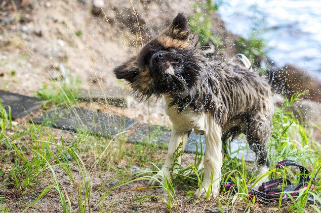 Dog Dog Love Dog Hair Flickdog Dog Wet Hair Enjoying Life Day Close-up Dog Swimming Animal Phuket,Thailand
