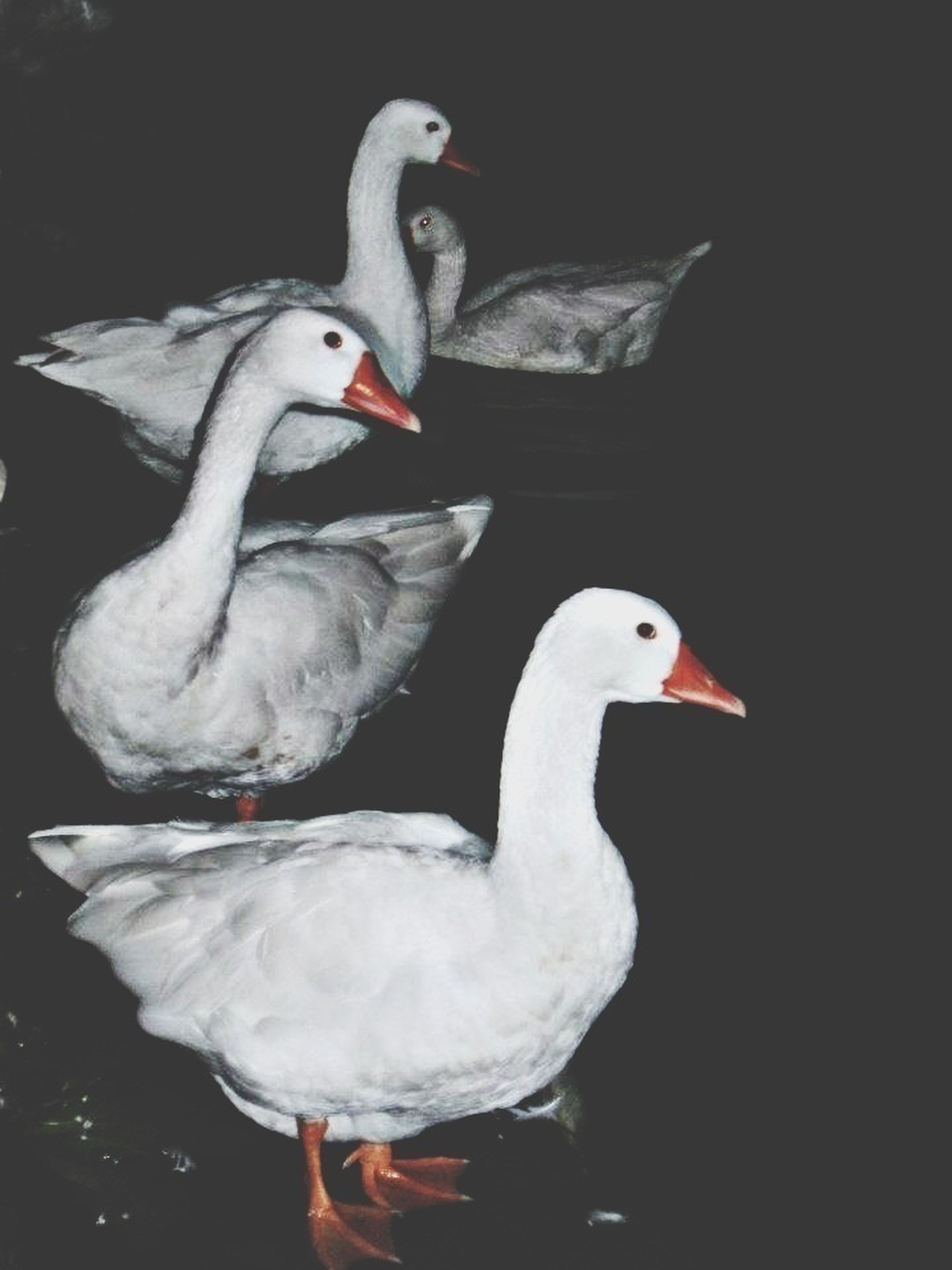 animal themes, bird, animals in the wild, wildlife, beak, swan, duck, one animal, white color, two animals, close-up, nature, lake, outdoors, togetherness, zoology, water bird, no people, side view