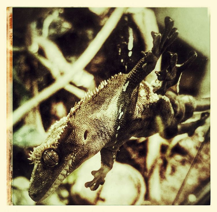 Haustier Pets Neukaledonien Gekko Gecko Kronengecko Crested Gecko