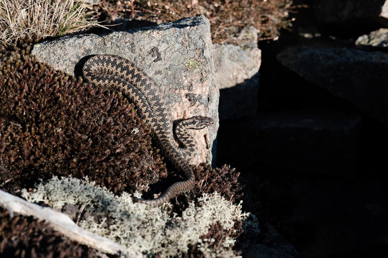 Huggorm Viper  Vipera Berus Huggorm Taking Photos Enjoying Life Sunbathing Snake Orm Fujifilm X-pro2 Nature Fujilover Xshooter Mirrolessrevolution Fujifilm_xseries Eyem Nature Lovers  Svensk Natur Xpro2 Sweden Sverige Fujifilm FujifilmXPro2