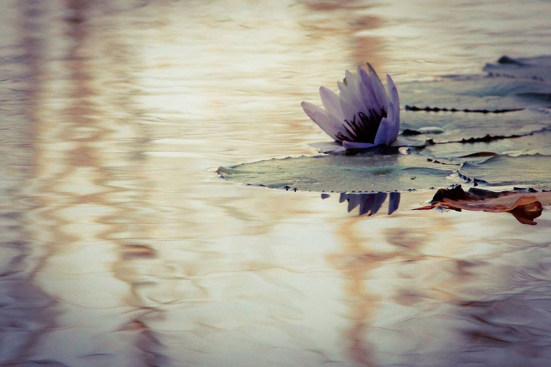 Fallen. Waterlily Pondography At The Pond  My Favorite Flower