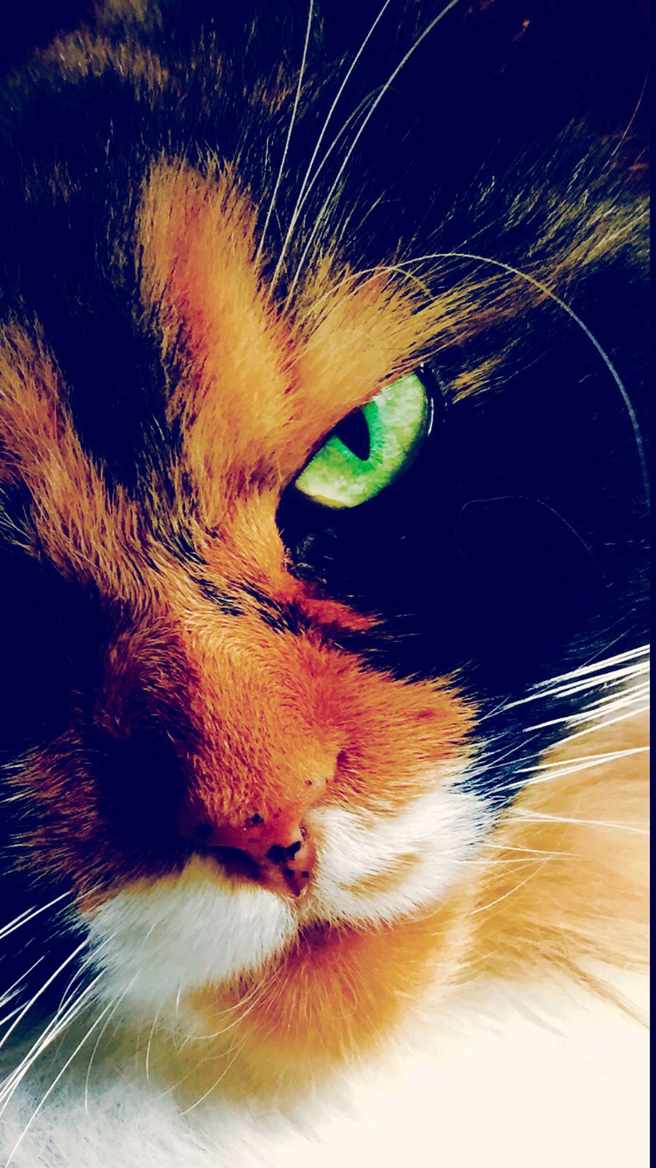 one animal, animal themes, domestic animals, pets, close-up, animal body part, mammal, domestic cat, animal head, cat, whisker, feline, indoors, part of, animal eye, no people, zoology, auto post production filter, looking away, animal hair