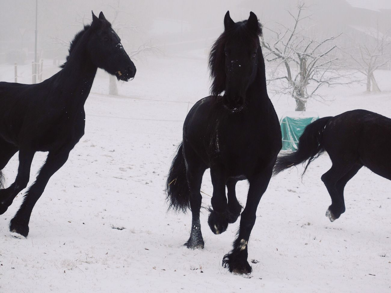 Happy about the first snow of the new year ! Domestic Animals Animal Themes Mammal Horse Black Color Winter Snow Cold Temperature Outdoors Nature at Gempen,switzerland