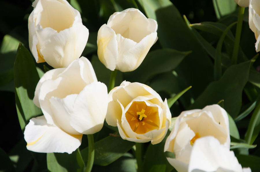 White tulip flowers Tulips Blooming Close-up Flower Flower Head Freshness Growth Nature Tulip Flower White Color White Tulips