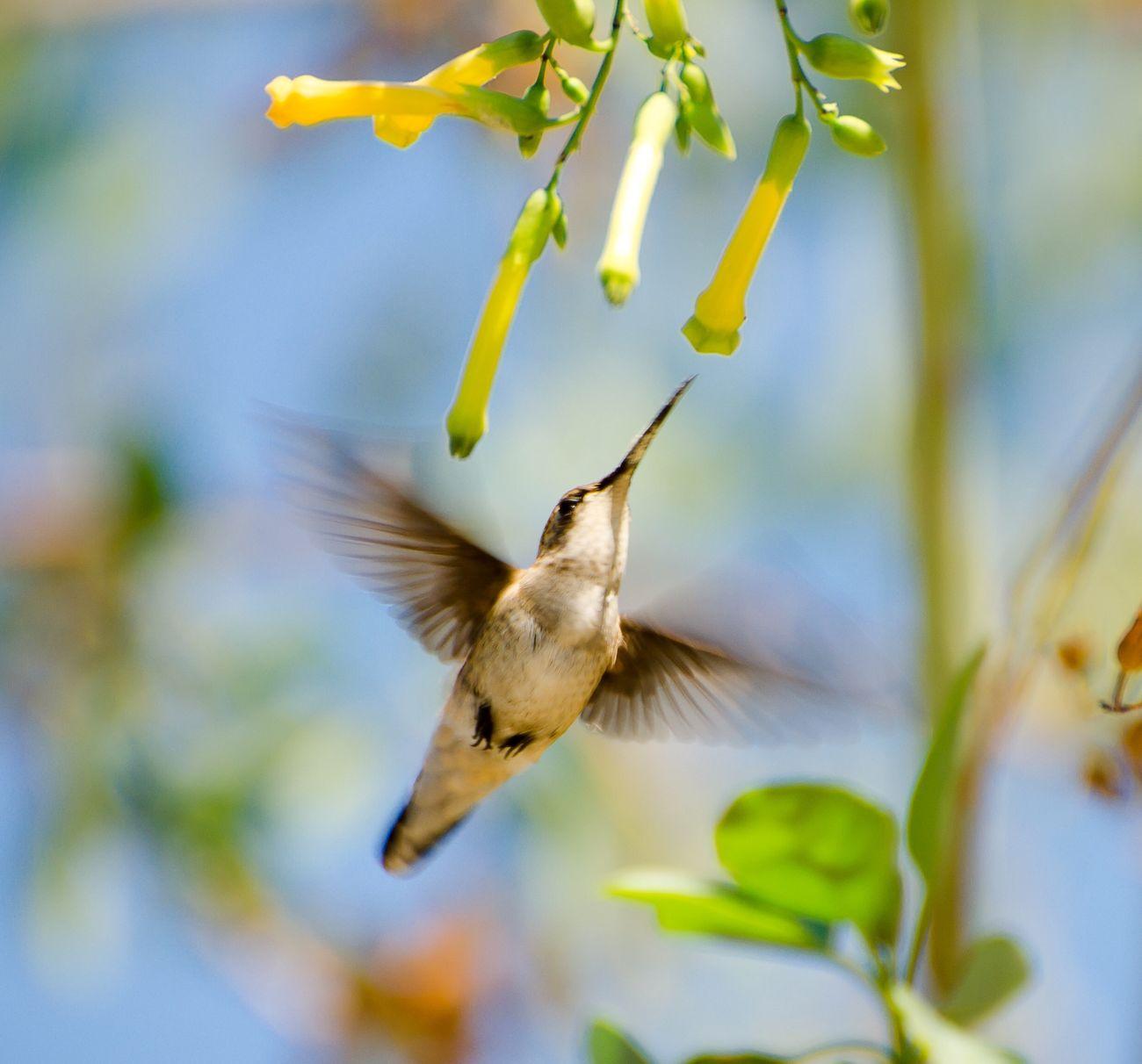 NECTOR COLLECTOR VERSION 3. Check This Out Relaxing Babyhumingbirds Nikon Nature_collection Bird Photography Nikon D7000 Eye4photography