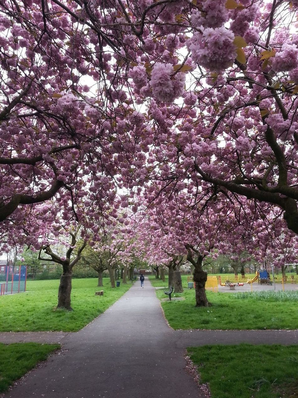 Park Pink Walking Cherry Blossoms