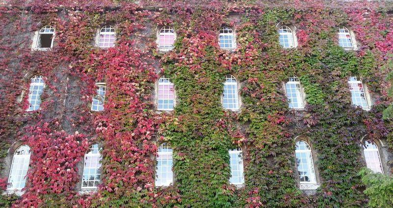 Ivywall Ivy Wall Ivyleaves Ivyred Fall Justaroundthecorner