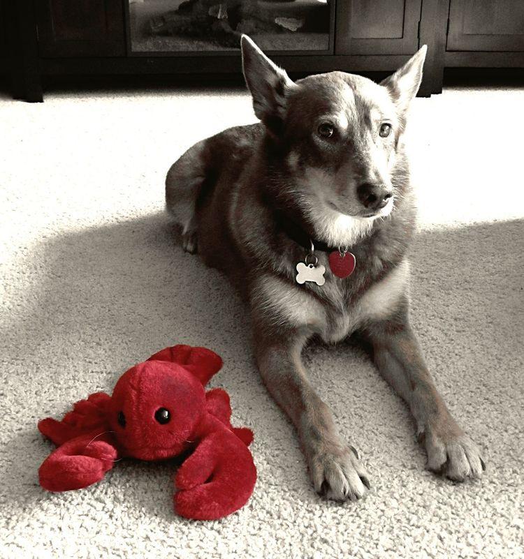 Kelpie Mansbestfriend I Love My Dog Dog Lobster Stuffed Animals Blackandwhite Red Accent My Dog Red