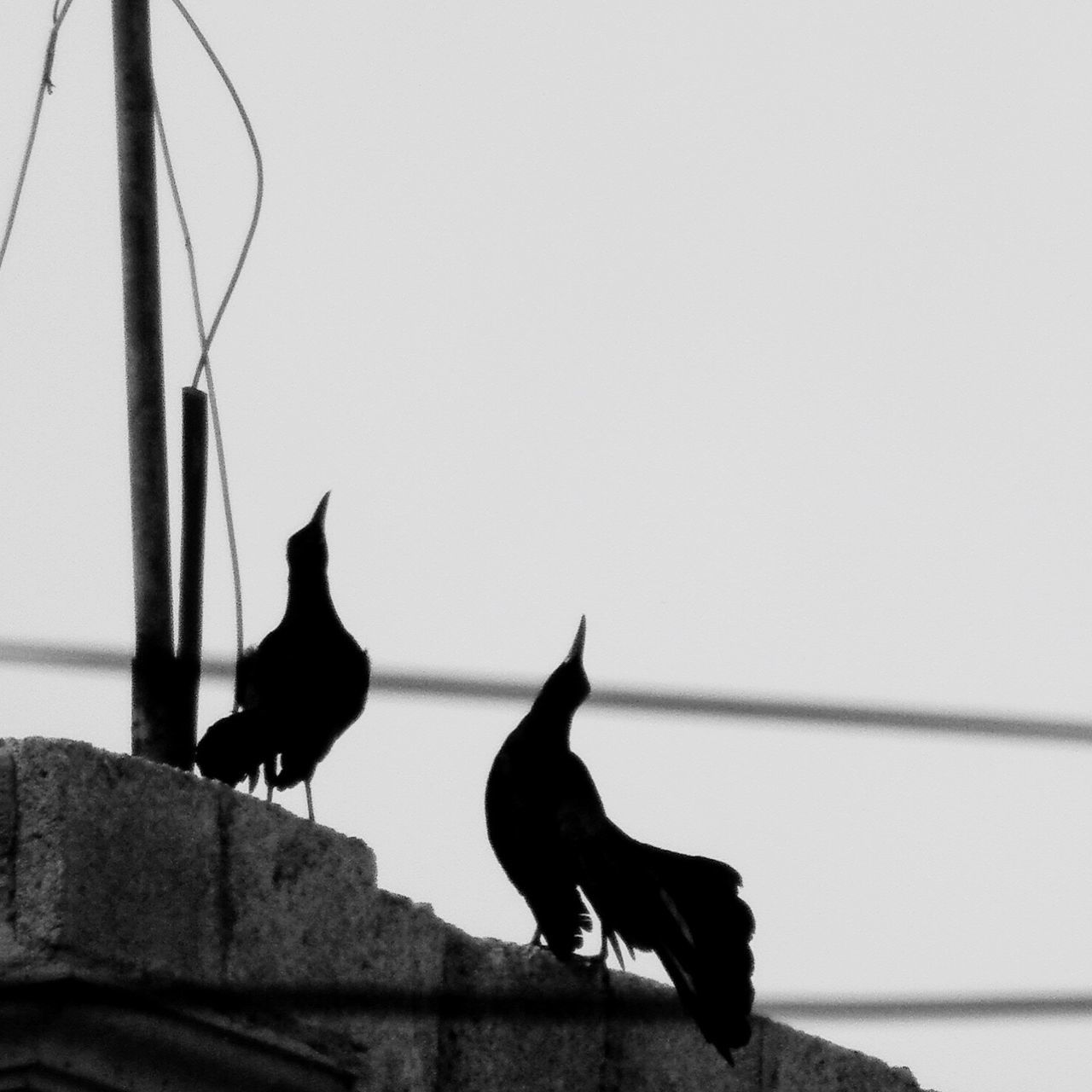 Adapted To The City Escucha! Animal Themes Bird EyeEm Best Shots - Black + White Blackandwhite