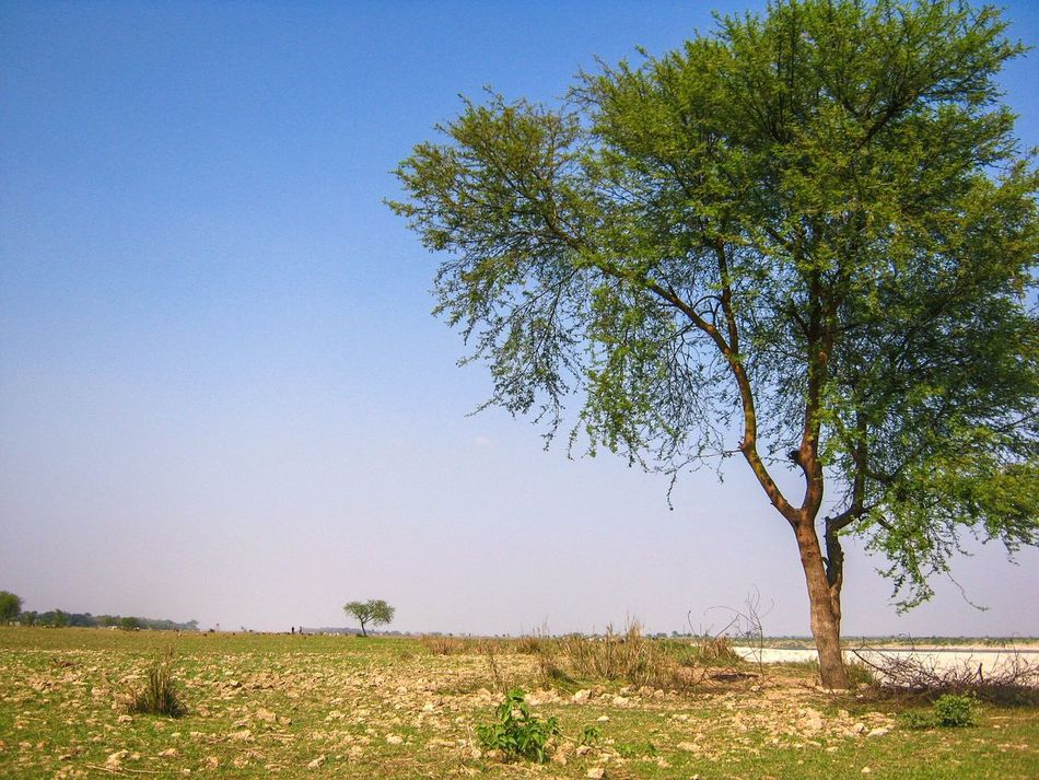 Tree Nature Clear Sky Growth Sky No People Field Beauty In Nature Single Tree Outdoors Day Nature MyArt Beauty In Nature