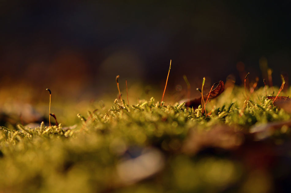 Late afternoon moss... Nature No People Outdoors Day Beauty In Nature Freshness Detail Fragility Simplicity Tranquility Macro Growth Green Color Plant Moss Mossy Low Angle View Atmospheric Mood Selective Focus Microcosm Autumn Bokeh Botany Multi Colored Nature_collection