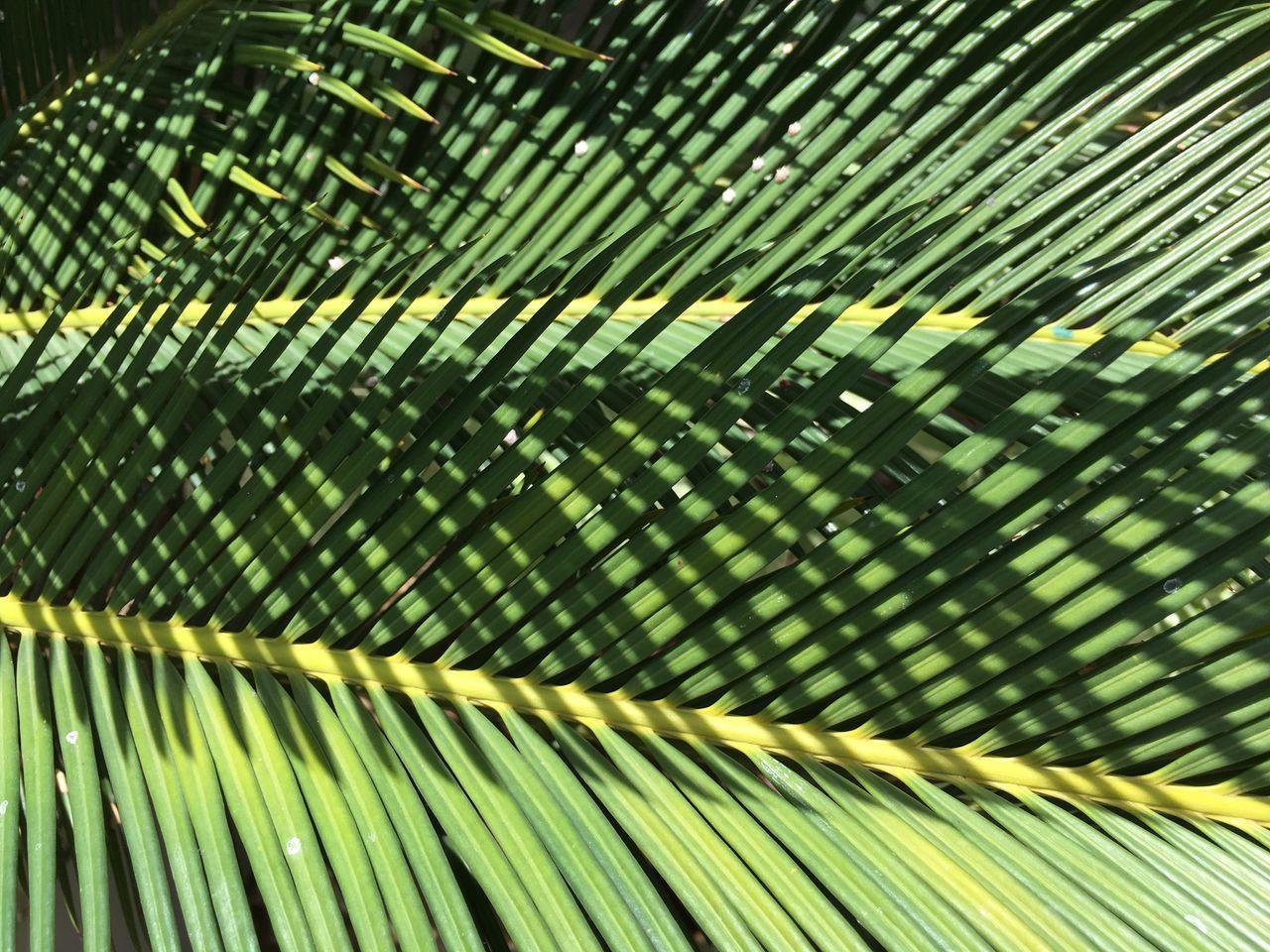 Full Frame Shot Of Coconut Palm Tree Leaf