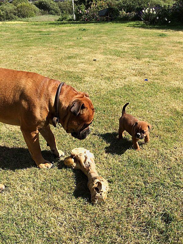 Summer Dogs Bulldog man's best friend..
