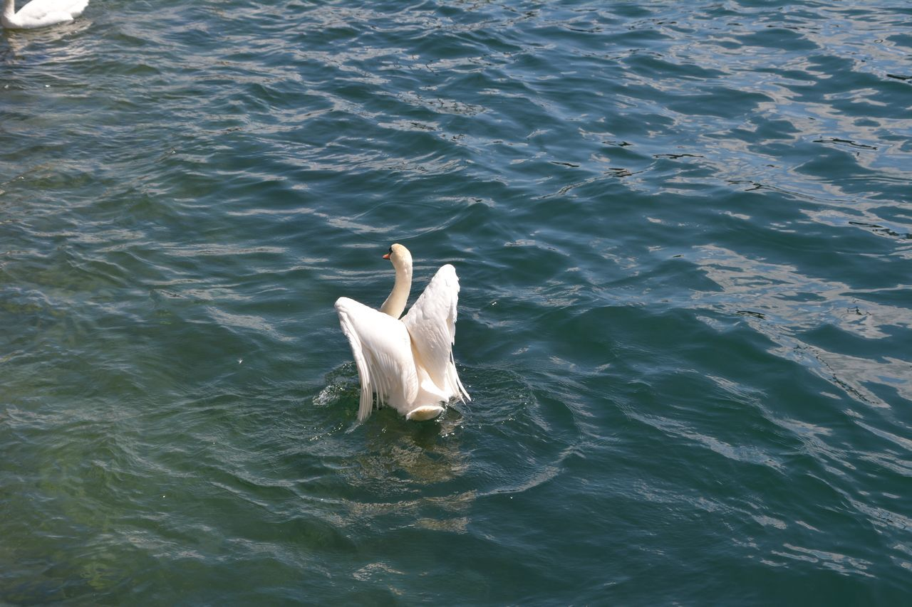 animal themes, animals in the wild, swan, day, water, no people, high angle view, one animal, animal wildlife, nature, bird, spread wings, outdoors, swimming