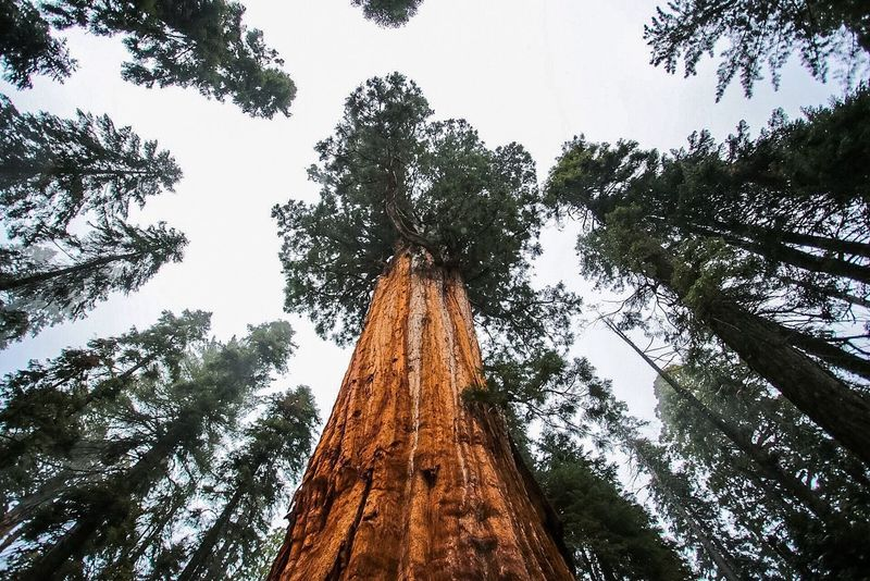 Giant Sequoia Sequoia National Park Seqouia Trees Nature Trees Lookingup Look Up