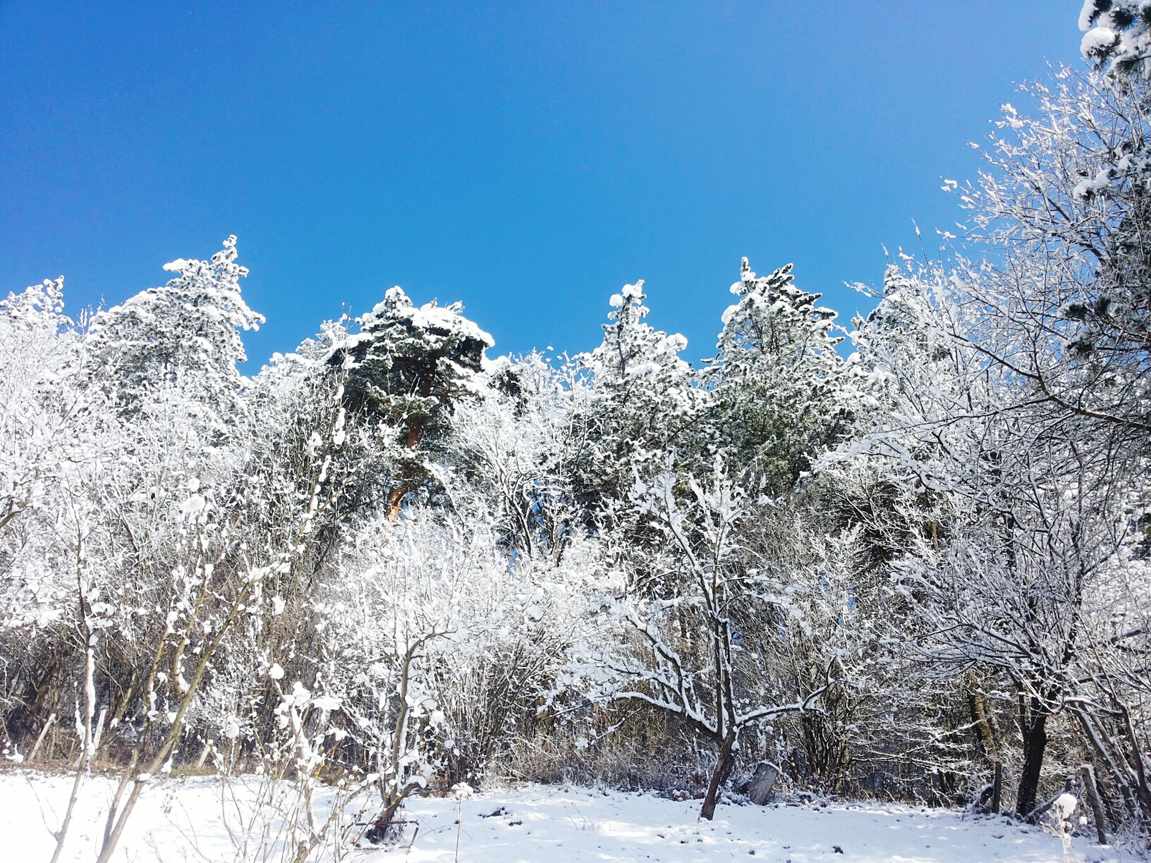 snow, winter, cold temperature, season, clear sky, tree, weather, covering, white color, tranquility, tranquil scene, nature, beauty in nature, blue, landscape, scenics, frozen, copy space, field, covered