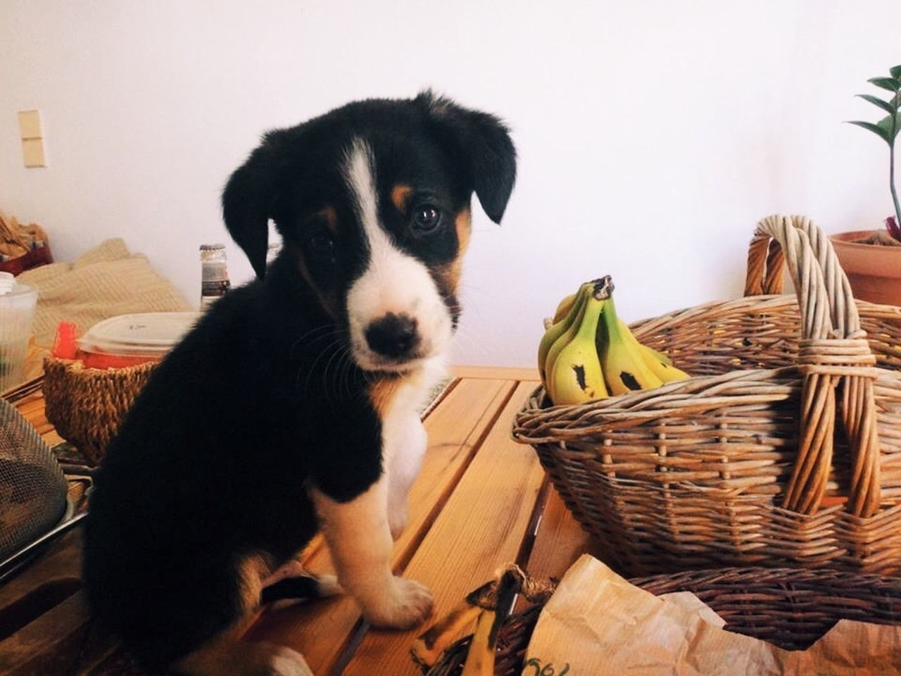 basket, pets, domestic animals, mammal, one animal, dog, animal themes, indoors, no people, day, close-up
