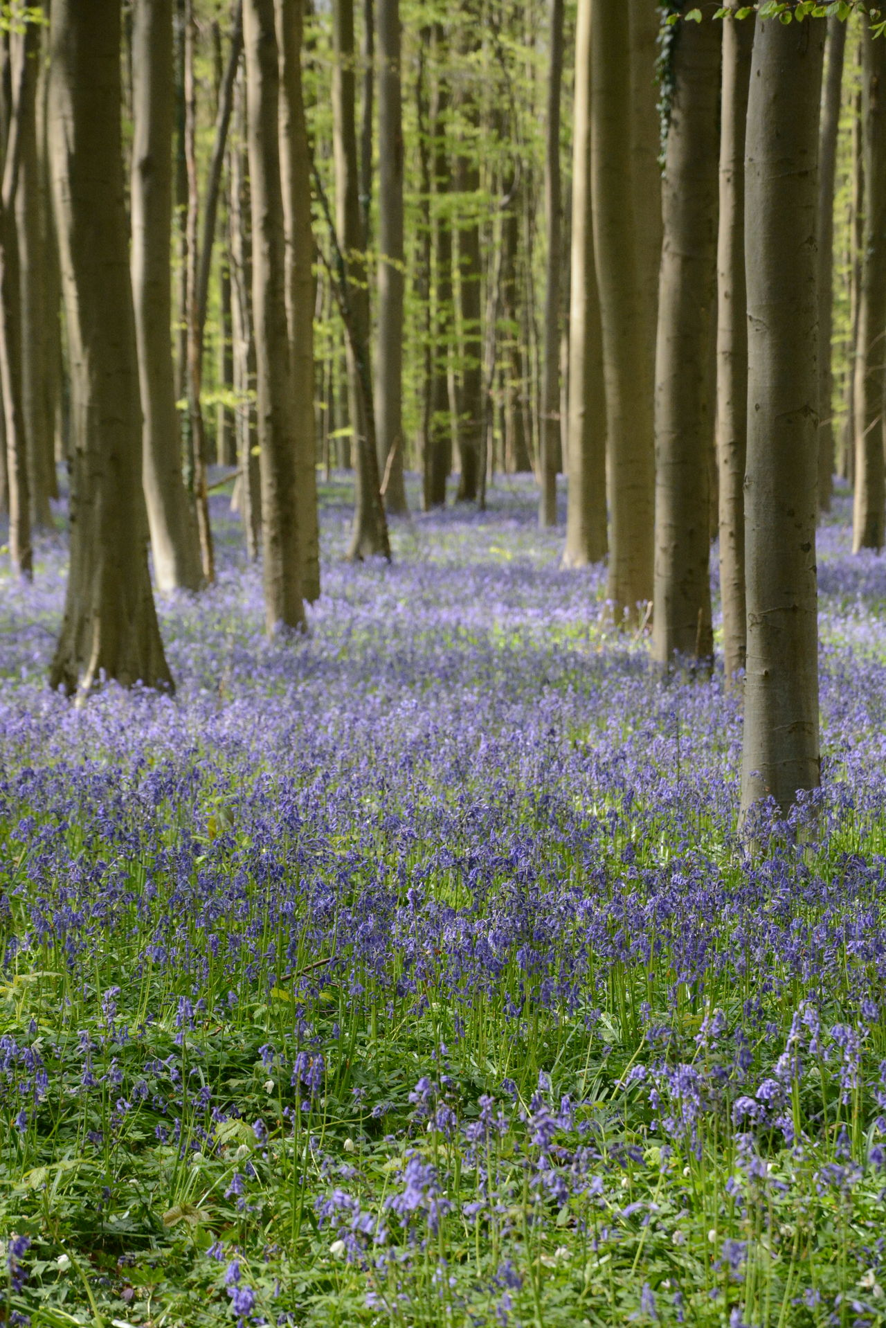 Beauty In Nature Flower Forest Hallerbos Nature No People Outdoors Tree Tree Trunk