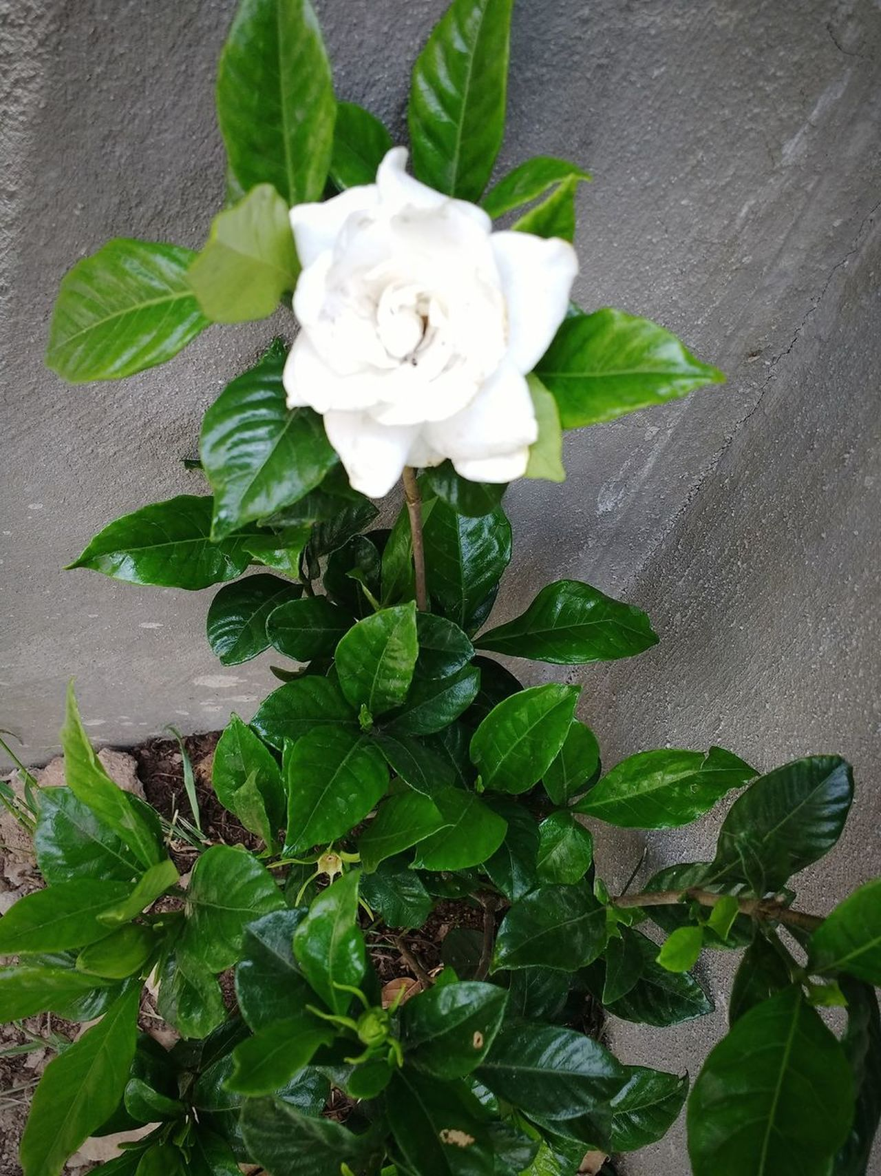Flower Leaf Petal High Angle View Fragility Nature Growth Close-up Plant Green Color Freshness Flower Head Day Beauty In Nature No People Outdoors Gardenia Flower Gardenia Mexico
