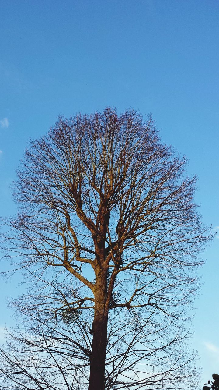 bare tree, tree, branch, lone, blue, nature, clear sky, low angle view, tree trunk, tranquility, sky, outdoors, day, no people
