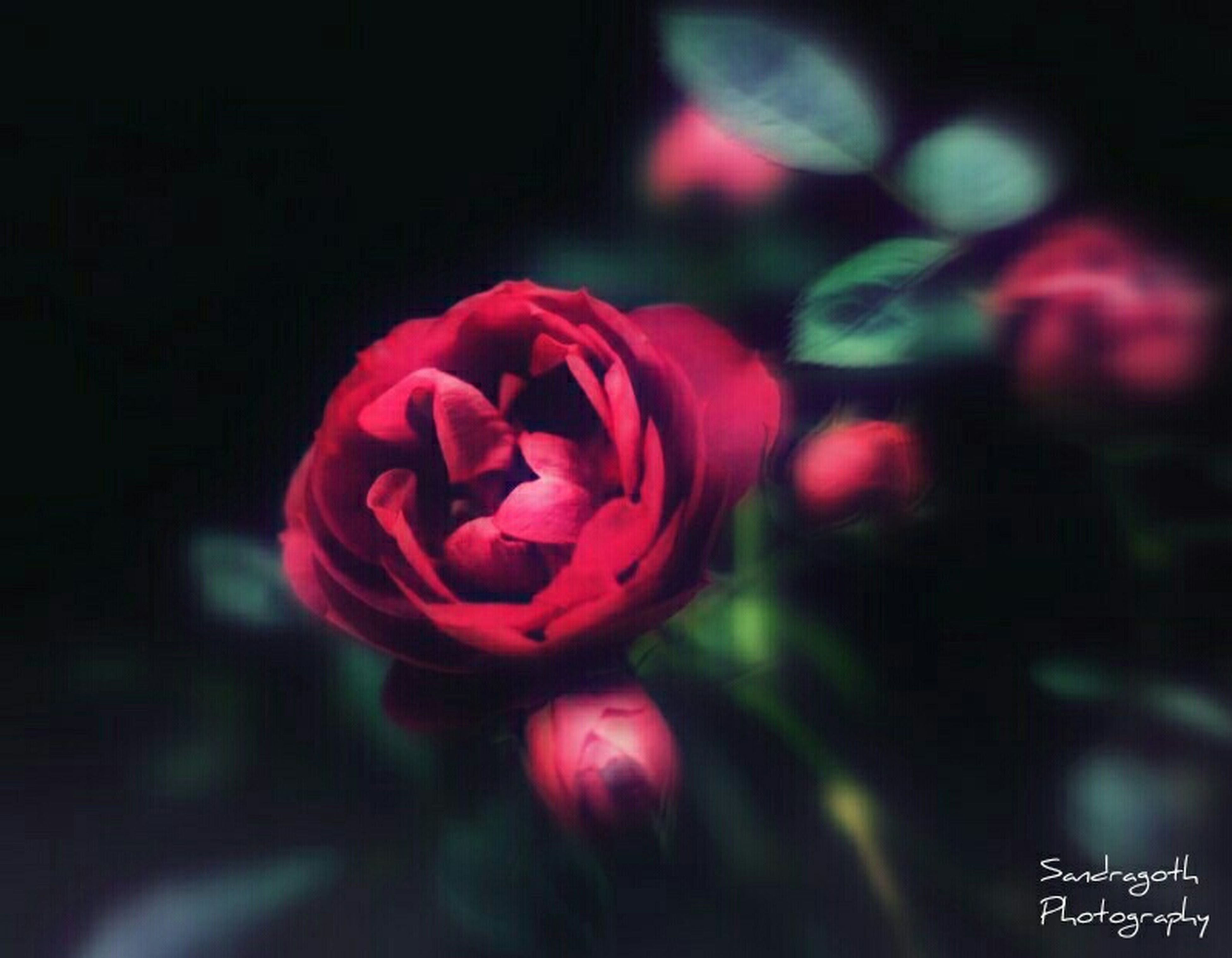 flower, petal, fragility, flower head, rose - flower, freshness, pink color, close-up, night, focus on foreground, beauty in nature, growth, red, nature, rose, selective focus, blooming, no people, illuminated, single flower