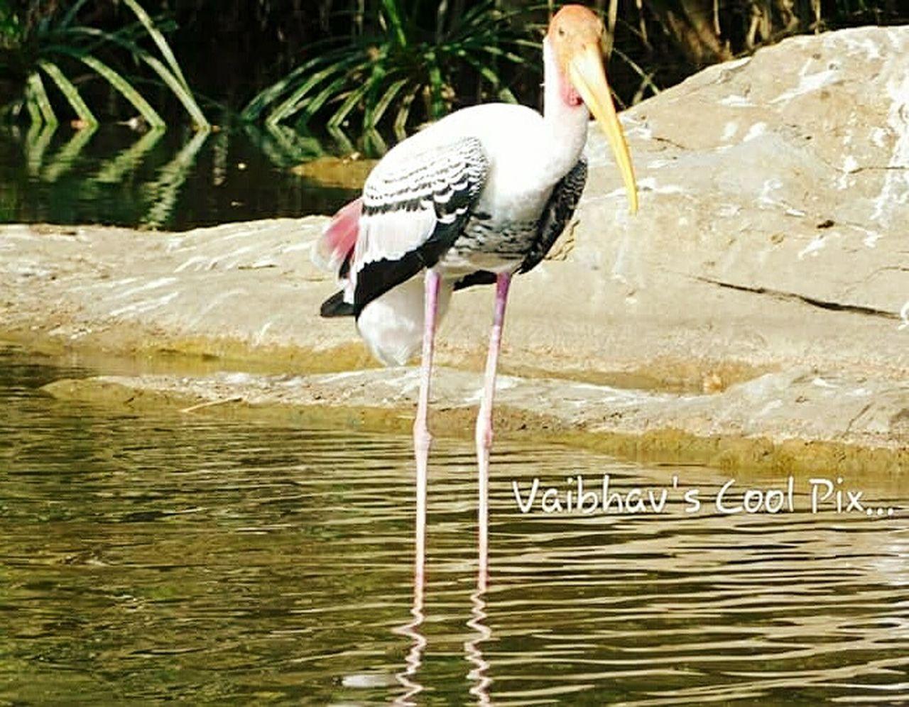 water, bird, stork, animals in the wild, nature, animal wildlife, lake, day, animal themes, outdoors, no people, ibis