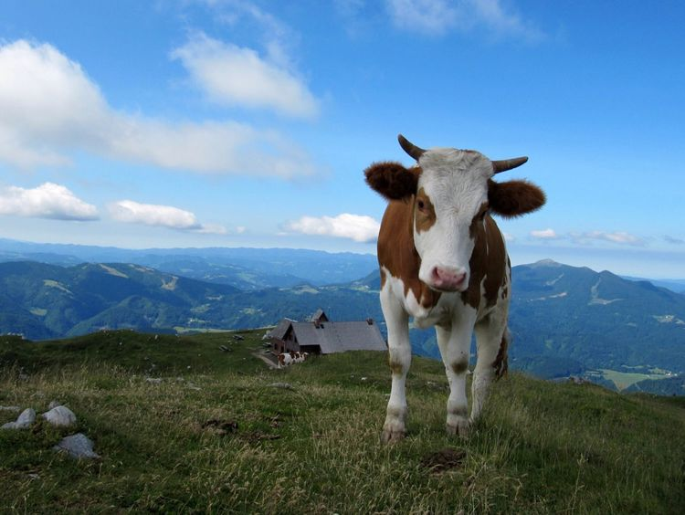 Ratitovec, Slovenia Slovenia Cow Animals Mountains Hills Landscape Domestic Cattle Farming Nature Looking Farm Mammal Countryside Country Rural