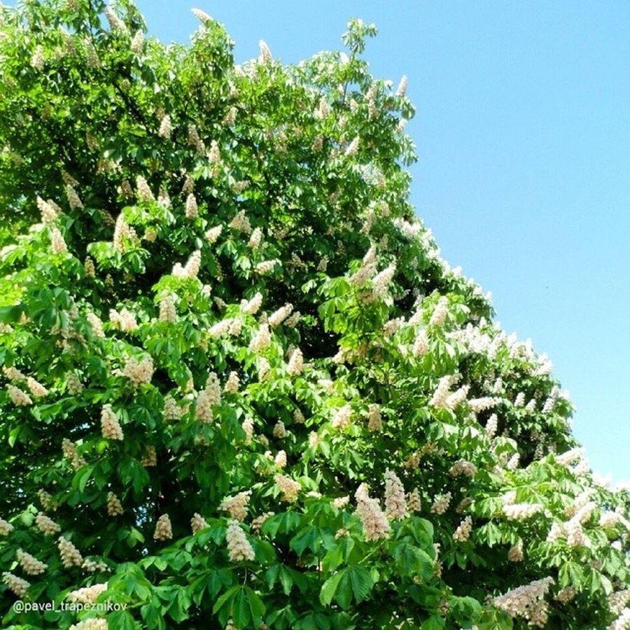 20140519 , г. Рязань . Цветущий каштан . Фото из командировки моей жены/ Ryazan . Blooming Chestnut. Photos from a trip my wife.