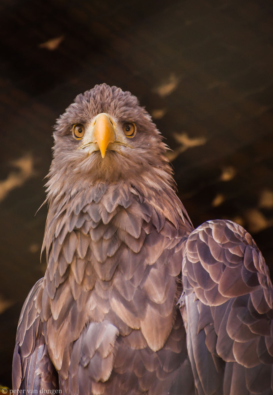 Bird Of Prey Eagle - Bird Nature Close-up Animal Themes No People Eagle Eaglephotography Nikon D90 Animals In The Wild Nature Petervdongen EyeEm Best Shots EyeEm Nature Lover Eyem Best Shots Nature_collection Eyemcaptured Feathered Friends Feathers