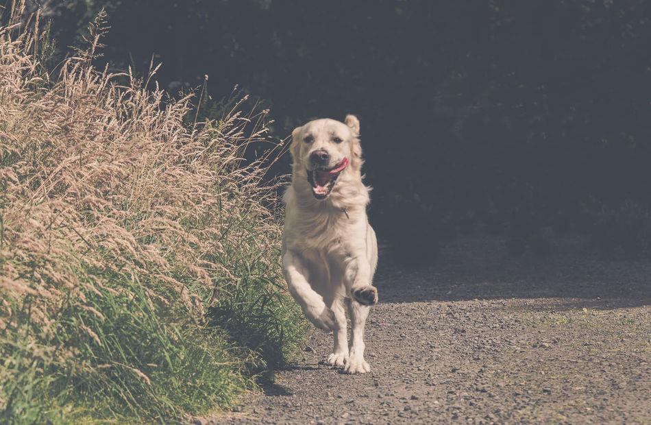 Golden Retriever Dog Dog❤ Friend Happy Jolly Pet Retriever Running