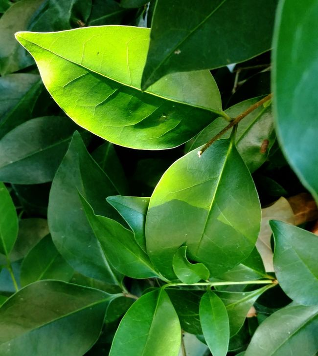 Early Morning Uncomplcated Green Leaves Freshness Leaveslove
