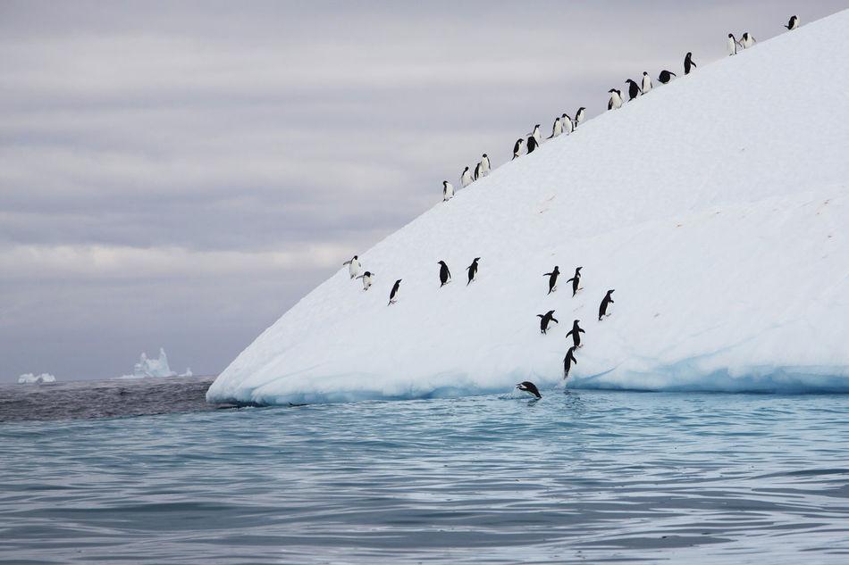 Beautiful stock photos of pinguin,  Adversity,  Animal Themes,  Antarctica,  Beauty In Nature
