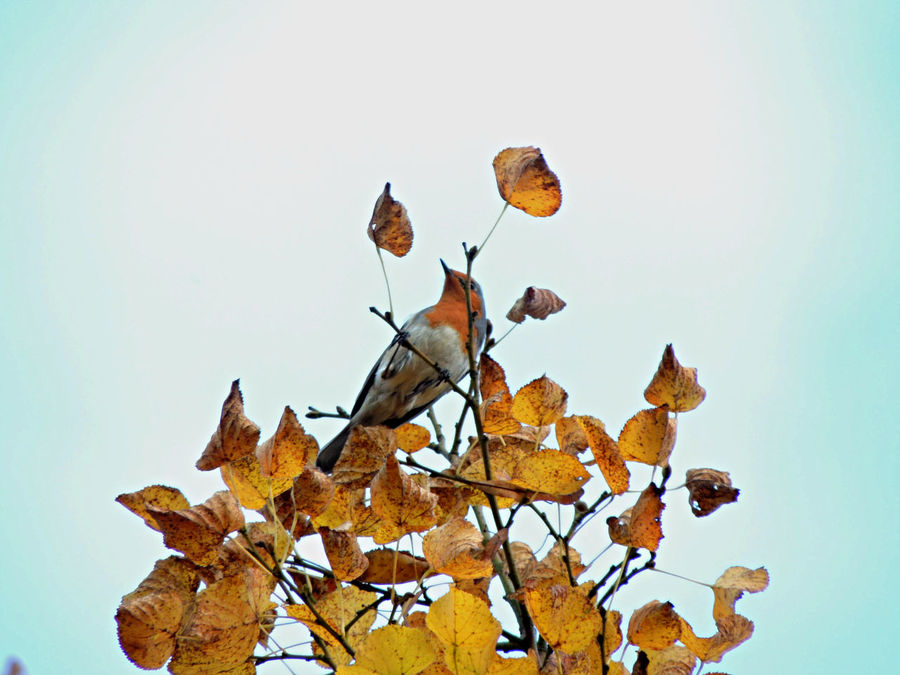 Beauty In Nature Bird Bird Photography Birdwatching Day Erithacus Rubecula Fall Fall Beauty Fall Colors Fall Leaves Lime Tree Lime Tree Leaves Low Angle View Nature No People Outdoors Photography Redbreasted Robin Robin Sky გულწითელა