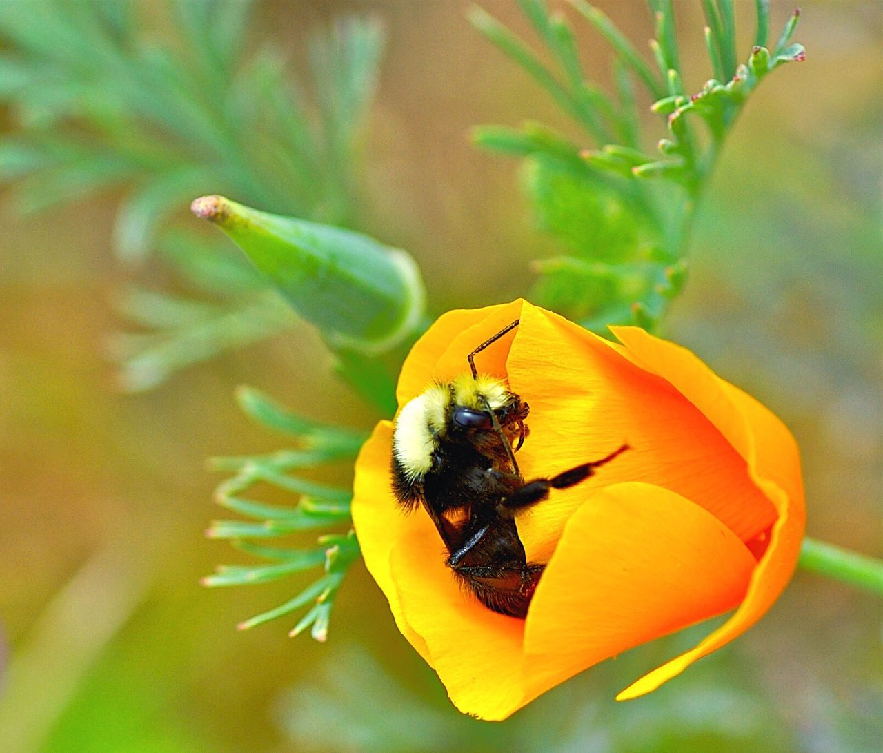 Flower Fragility Beauty In Nature Insect Bee Pollination Flower Head California Poppy Petal Koduckgirl