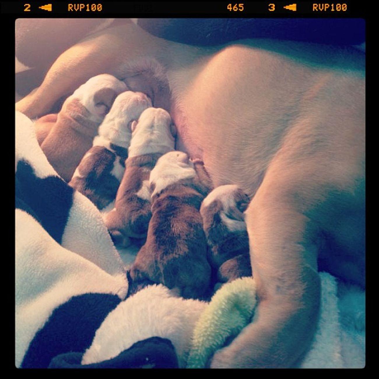 Ellos son lo más tierno que hay para mi en este momento los que siempre estarán ahí :3 son unos angelitos ImSoHappy Mytruelove Bulldog Pregnant Babydog BabyBulldog
