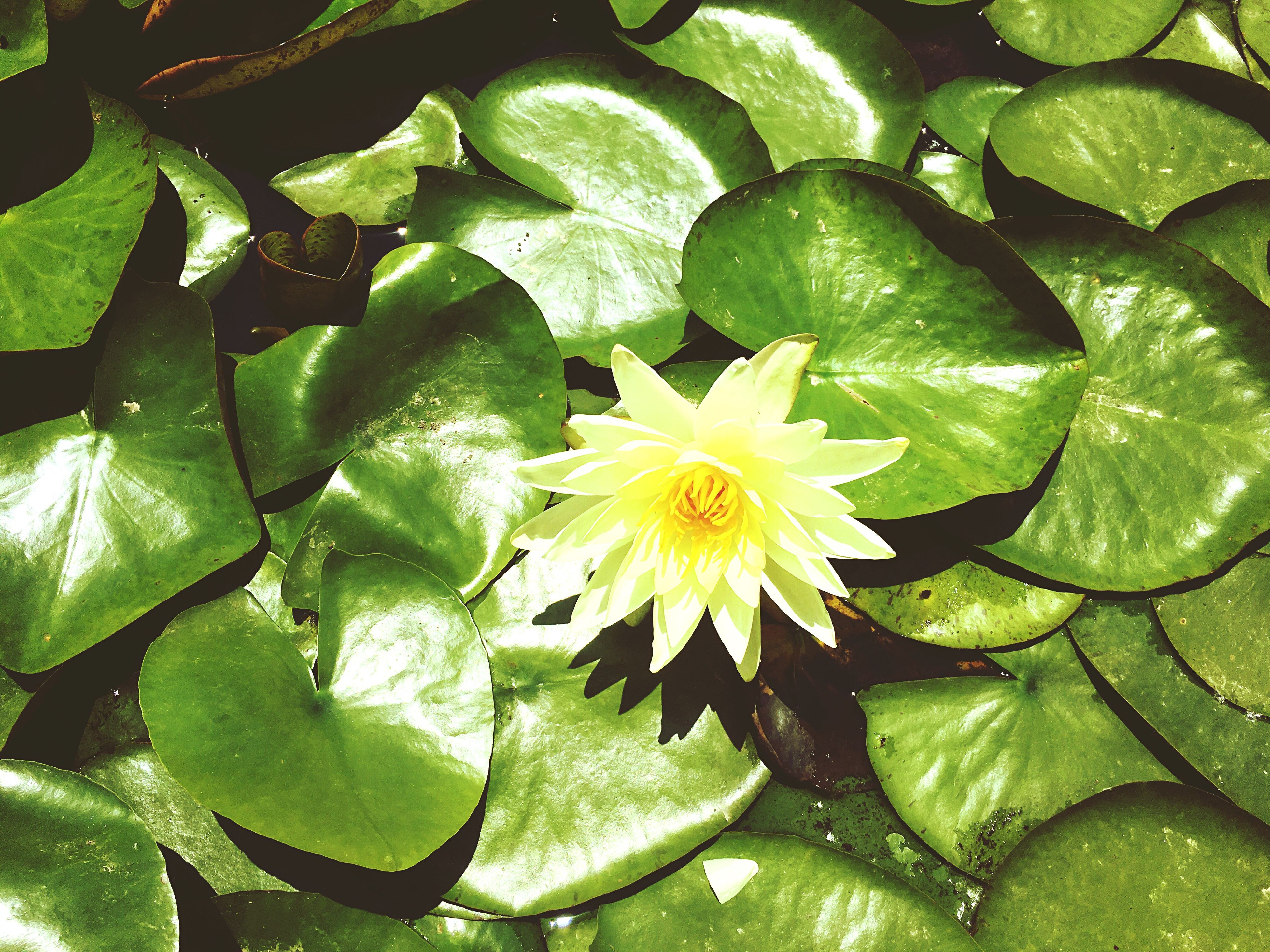 leaf, water, freshness, flower, growth, fragility, green color, beauty in nature, petal, nature, high angle view, water lily, pond, plant, floating on water, flower head, wet, close-up, drop, single flower