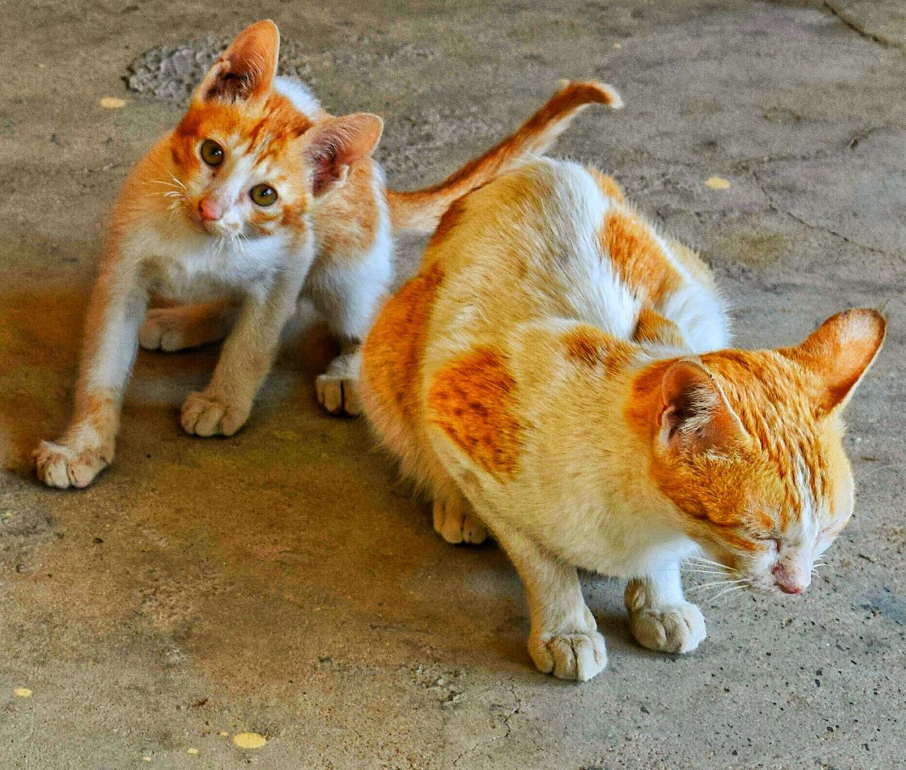 Animal Themes Domestic Animals Pets Young Animal No People Domestic Cat Cute Animals One Animal Kitty Cat Cat Eyes Cute Colorful Golden Gorgeous ♥ Beauty Cat Photography Best  Close-up Cats Of EyeEm Cat Lovers Cat Kitten 🐱 Cute Pets Cat♡ White Color