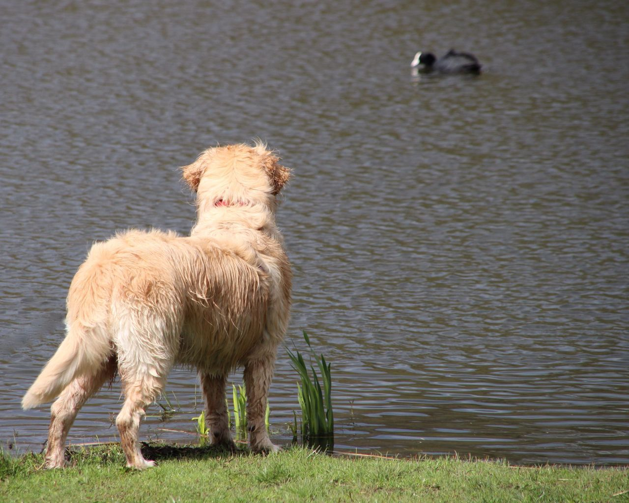 Beautiful stock photos of golden retrievers, Animal Themes, Beauty In Nature, Day, Dog