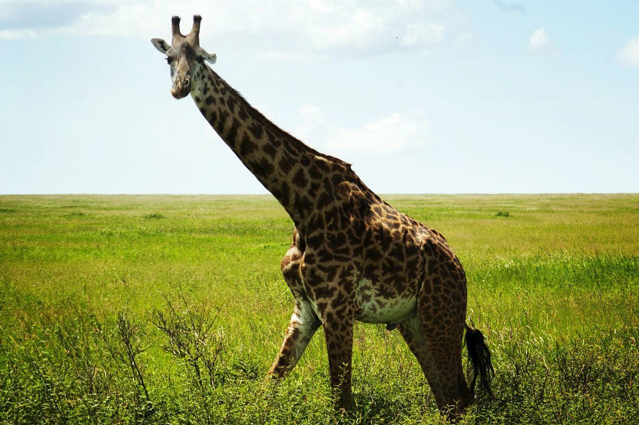 Landscape Giraffe No People Nature Green Color Sky Mammal Animal Themes Outdoors Day Animal Markings Serengeti National Park Tanzania Safari Animals Animals In The Wild Animal Wildlife One Animal Giraffe Animal