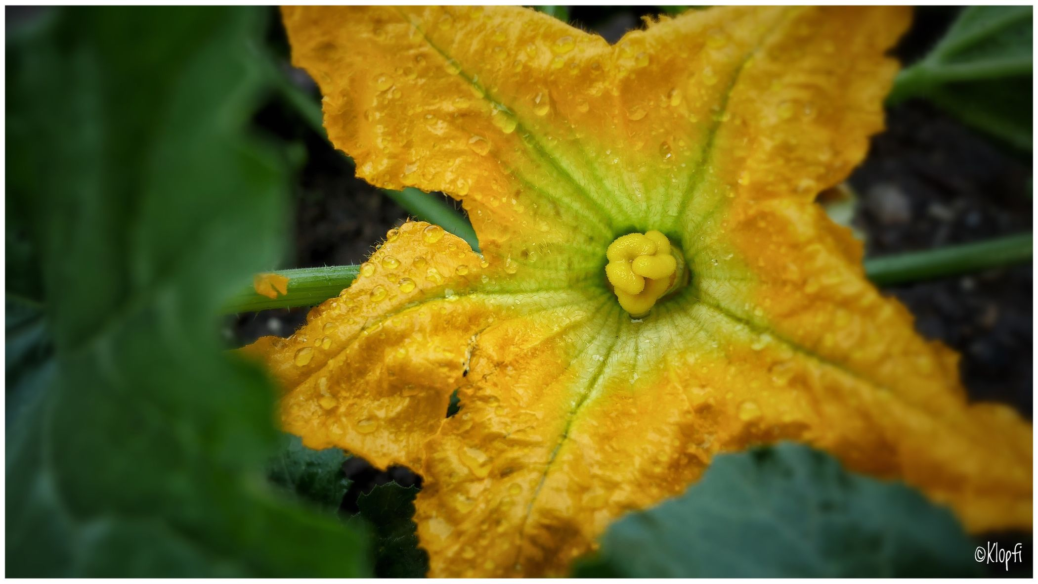 Close-up Nature Growth Fragility Drop Outdoors Beauty In Nature Day Selective Focus Flower Freshness Yellow Plant Wet Flower Head No People Water Leaf Petal Zuchinni  Zuchetti